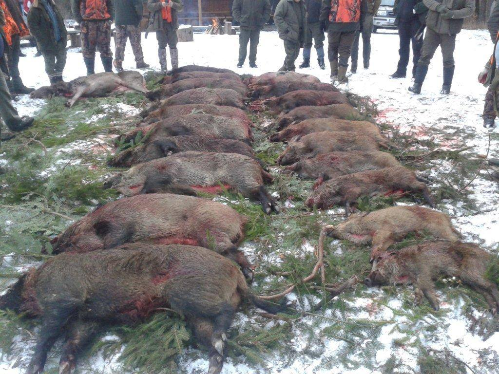 Driven hunt for wild boar