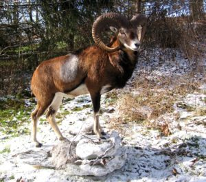 mouflon full mount made by taxitermist