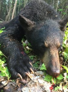 black bear shoot in canada