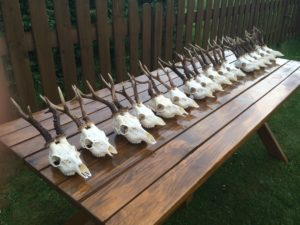 roebuck trophies on table