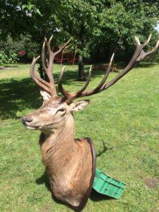 red stag shoulder mount