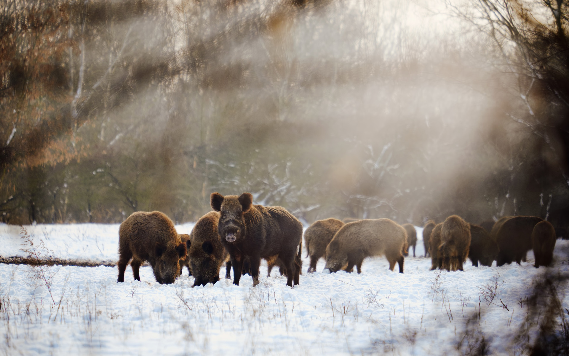 wild boar on field covered by snow